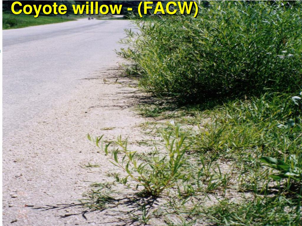 Coyote willow - (FACW)