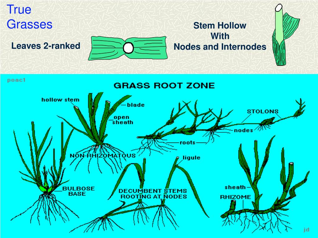 True Grasses