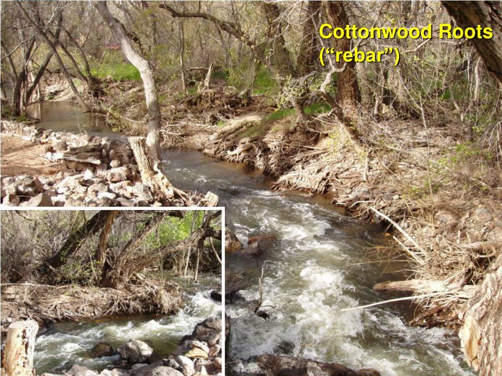 "Cottonwood Roots (""rebar"")"