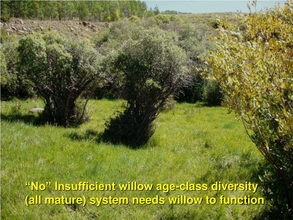 """""""No"""" Insufficient willow age-class diversity (all mature) system needs willow to function"""
