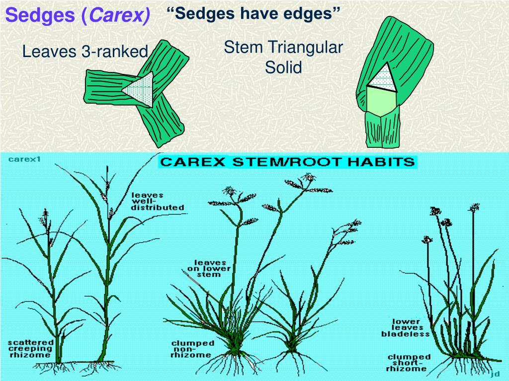 Sedges (