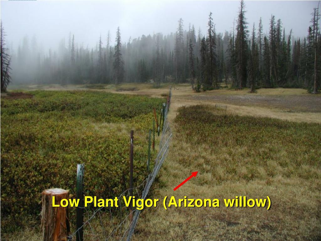 Low Plant Vigor (Arizona willow)