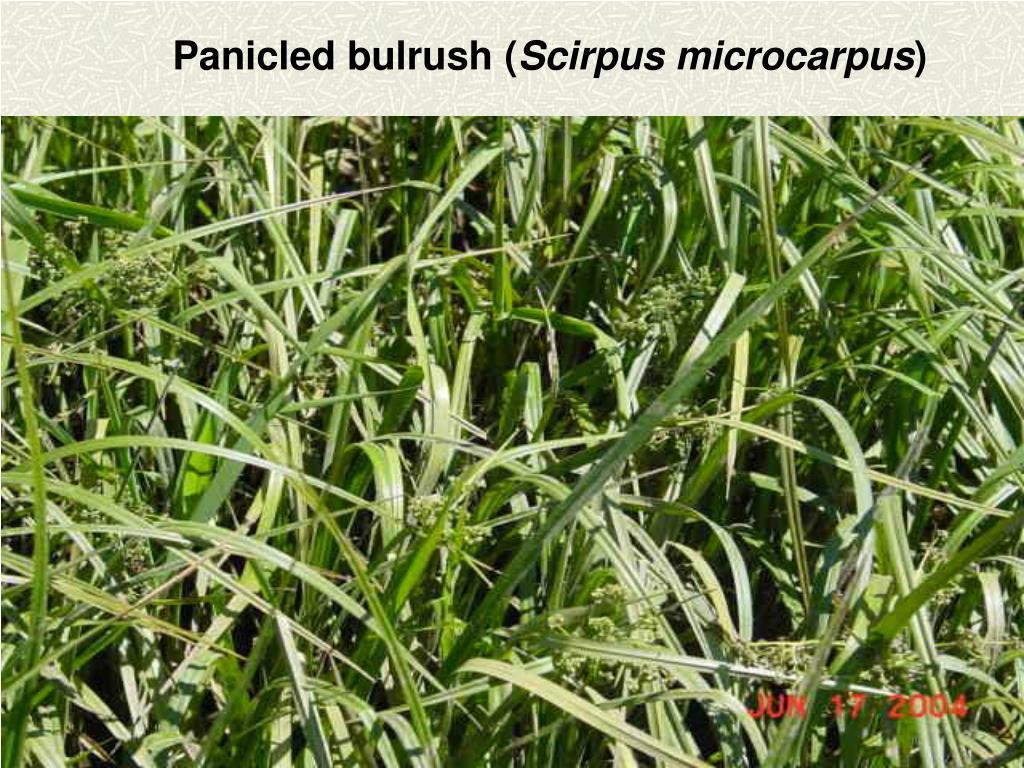 Panicled bulrush (