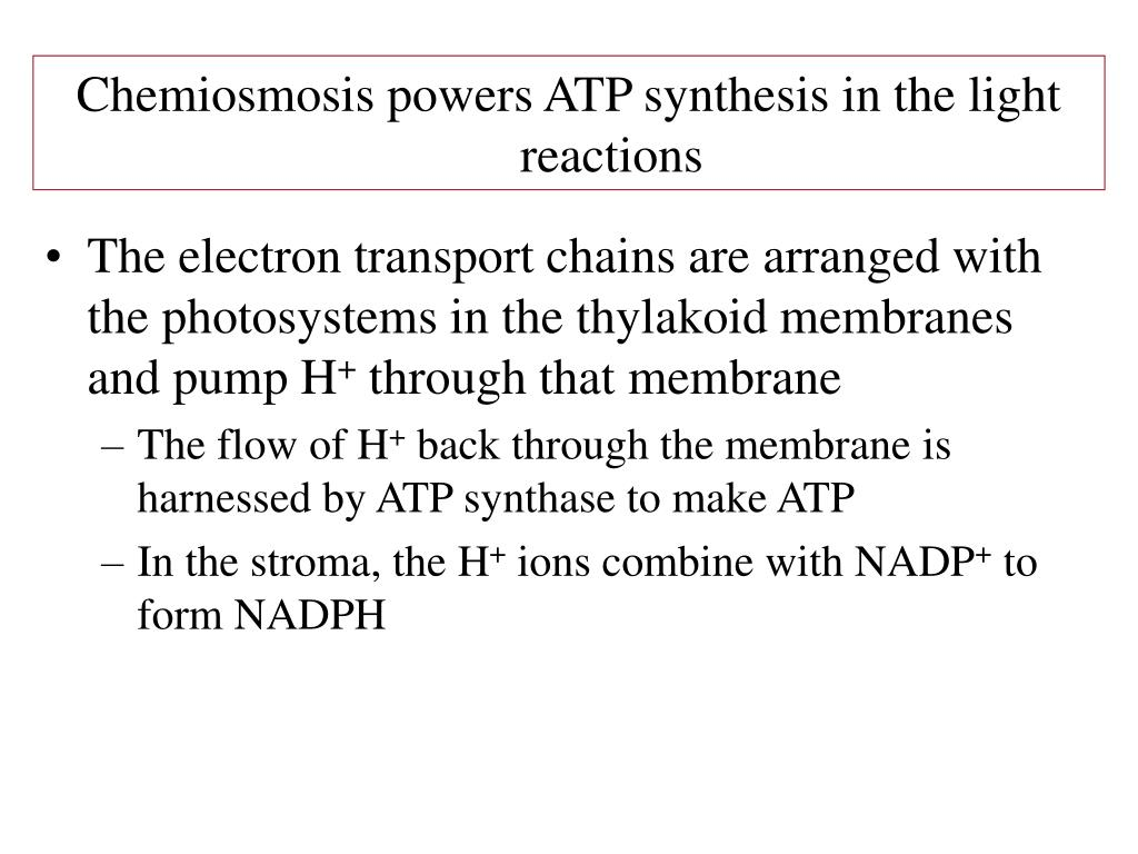Chemiosmosis powers ATP synthesis in the light reactions