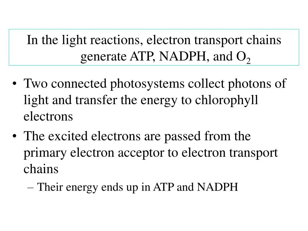 In the light reactions, electron transport chains generate ATP, NADPH, and O