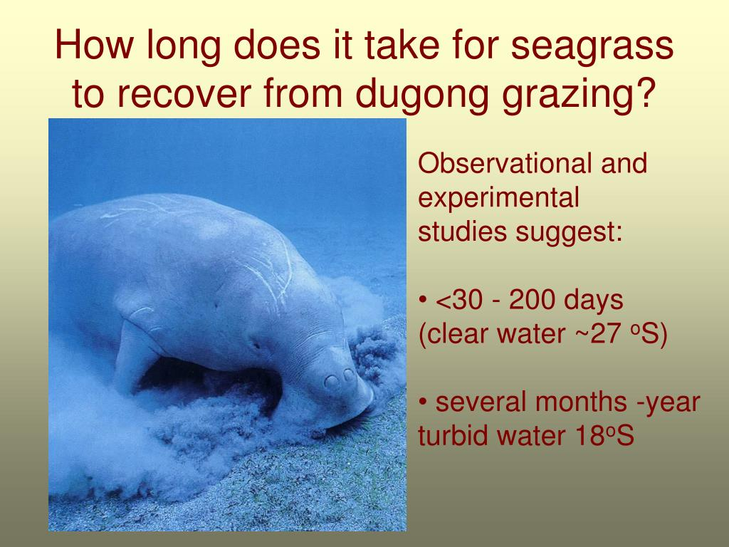 How long does it take for seagrass to recover from dugong grazing?
