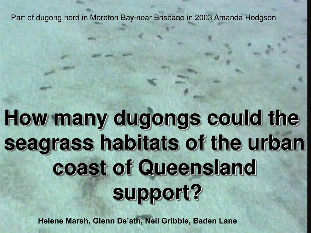 Part of dugong herd in Moreton Bay near Brisbane in 2003 Amanda Hodgson