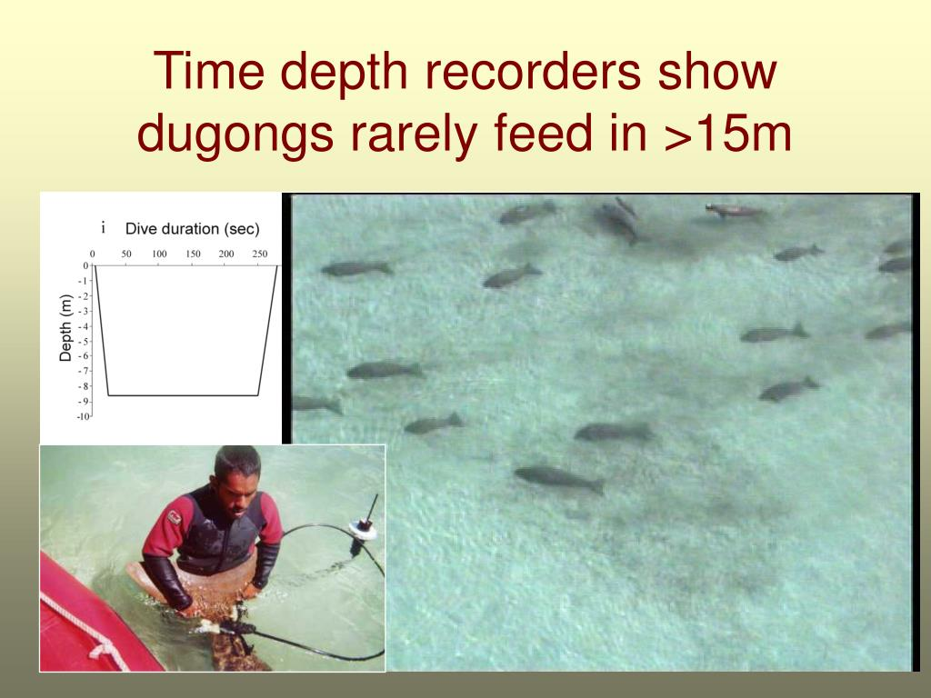 Time depth recorders show dugongs rarely feed in >15m