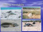nesting hawksbills