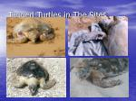 tagged turtles in the sites