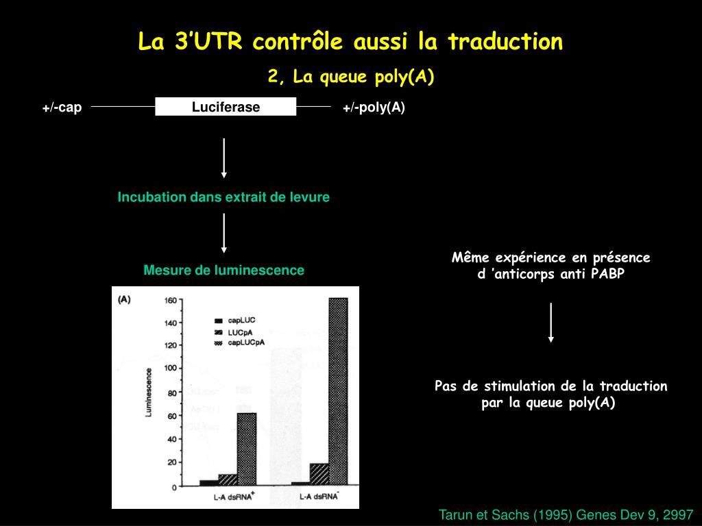 La 3'UTR contrôle aussi la traduction
