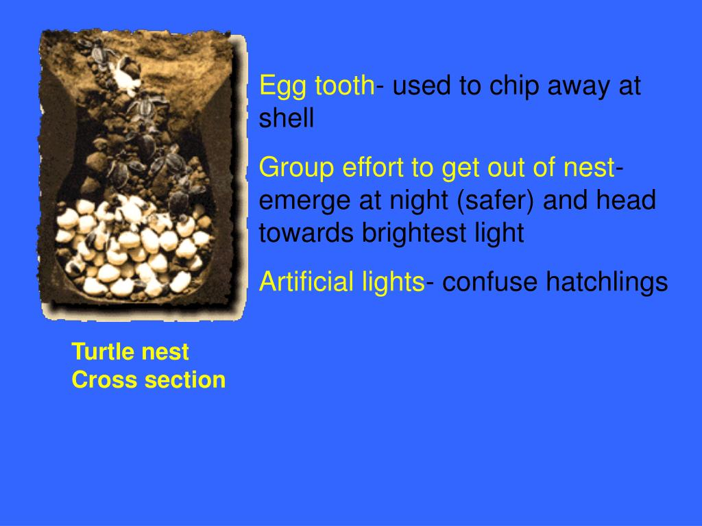 Egg tooth