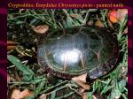 cryptoddira emydidae chrysemys picta painted turtle
