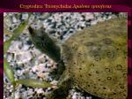 cryptodira trionychidae apalone spiniferus