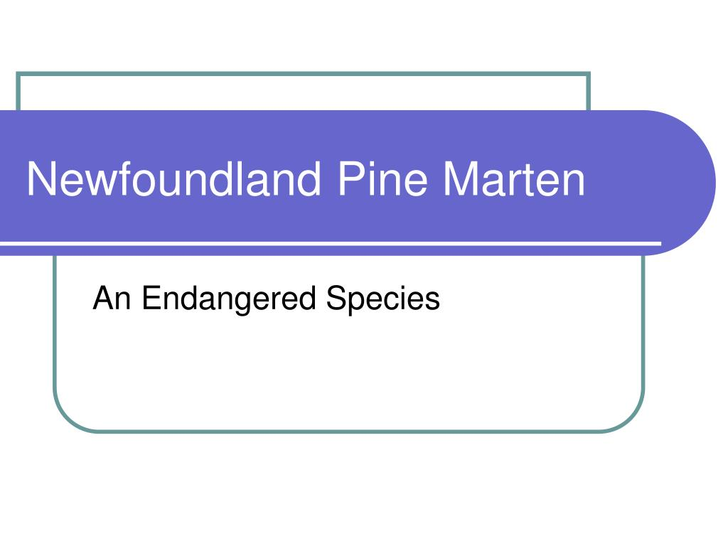 newfoundland pine marten l.