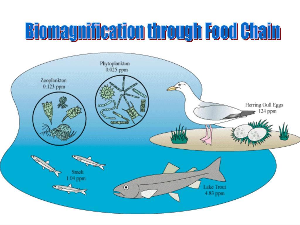 Food Web Bioaccumulation