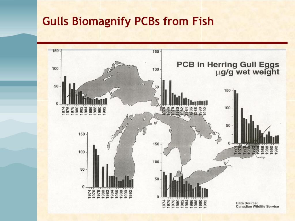 Gulls Biomagnify PCBs from Fish
