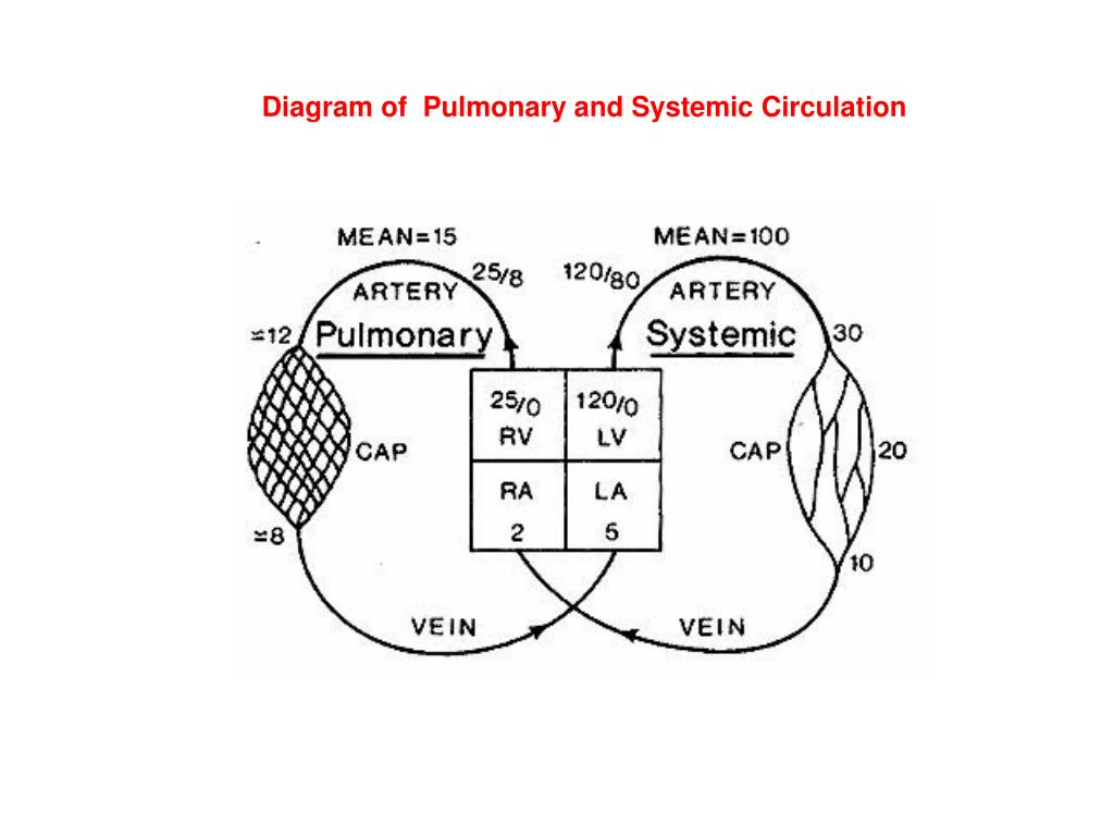 Diagram of  Pulmonary and Systemic Circulation