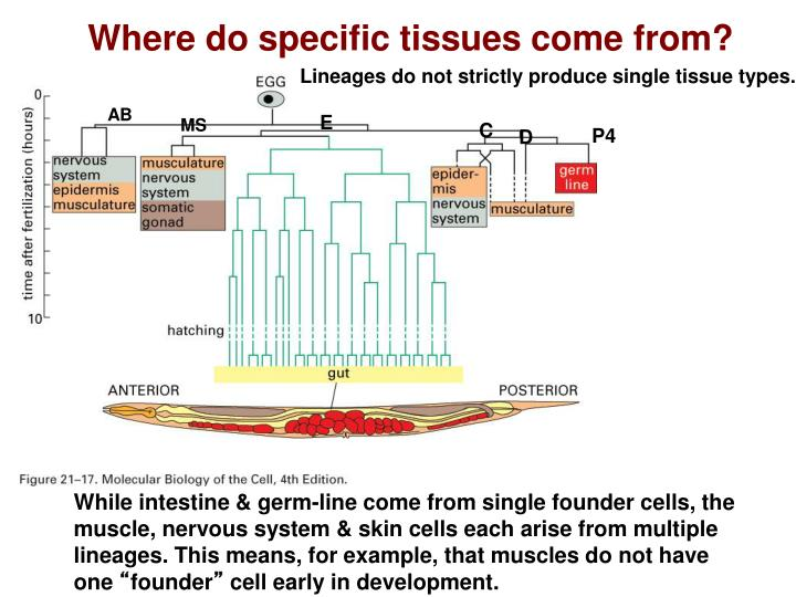 Where do specific tissues come from?
