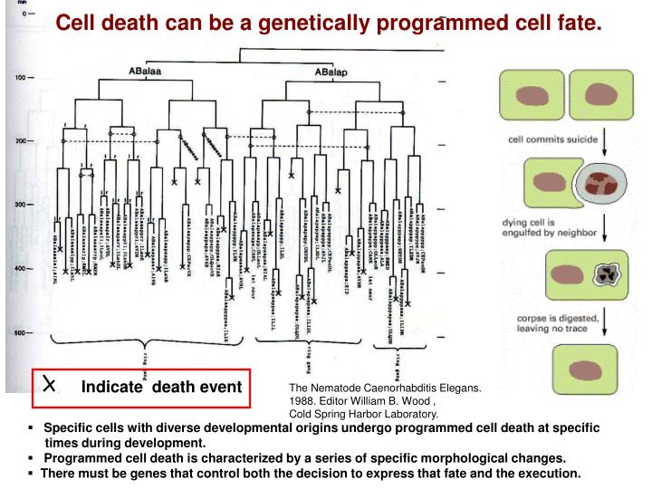 Cell death can be a genetically programmed cell fate.