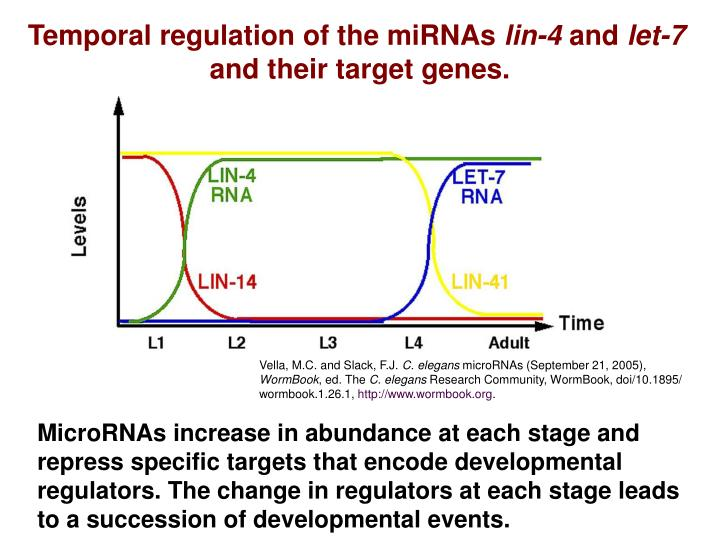 Temporal regulation of the miRNAs