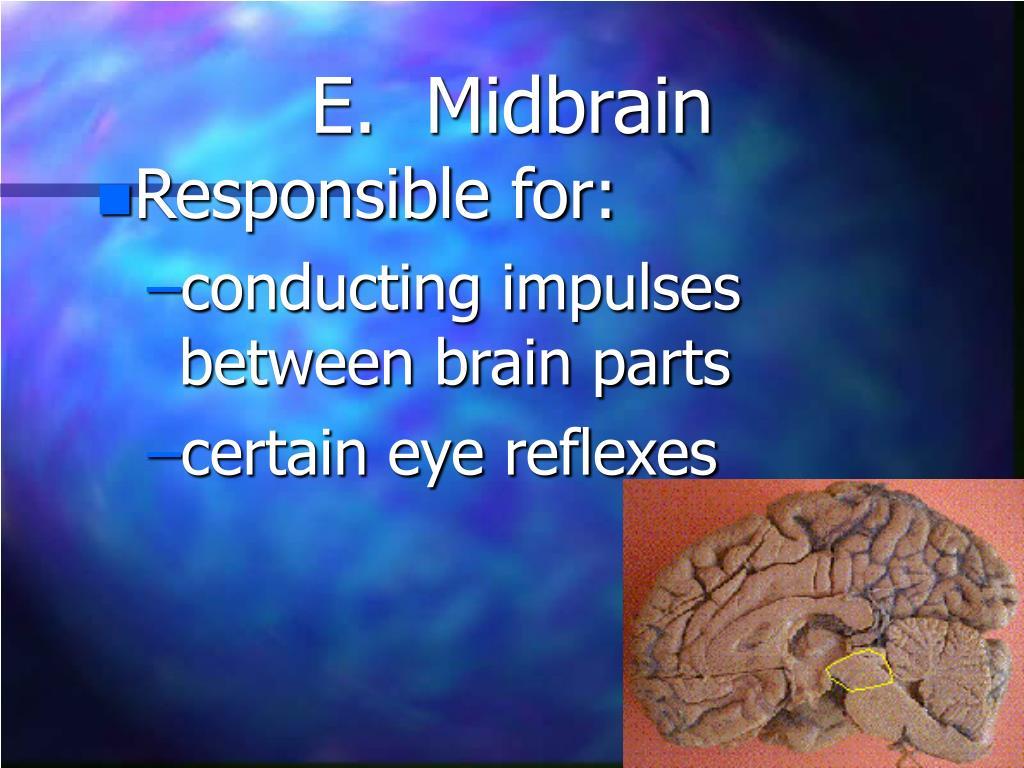 E.  Midbrain