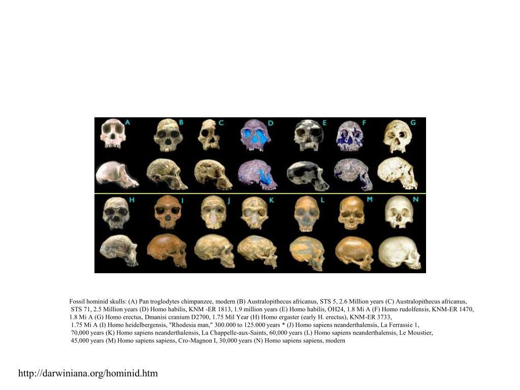 Fossil hominid skulls: (A) Pan troglodytes chimpanzee, modern (B) Australopithecus africanus, STS 5, 2.6 Million years (C) Australopithecus africanus,