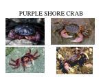 purple shore crab