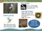 eastern phoebe sayornis phoebe