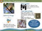 house wren troglodytes aedon