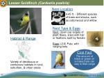 lesser goldfinch carduelis psaltria