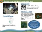 western scrub jay aphelocoma californica