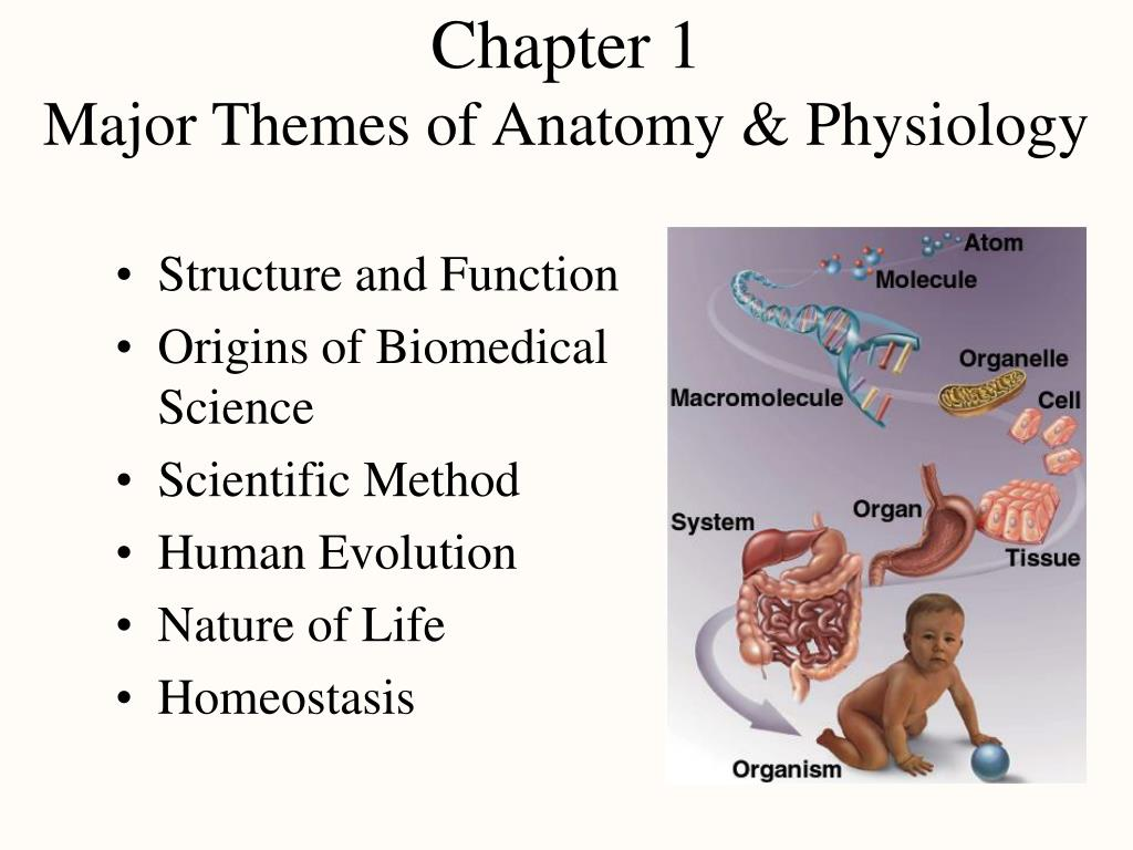 chapter 1 major themes of anatomy physiology l.
