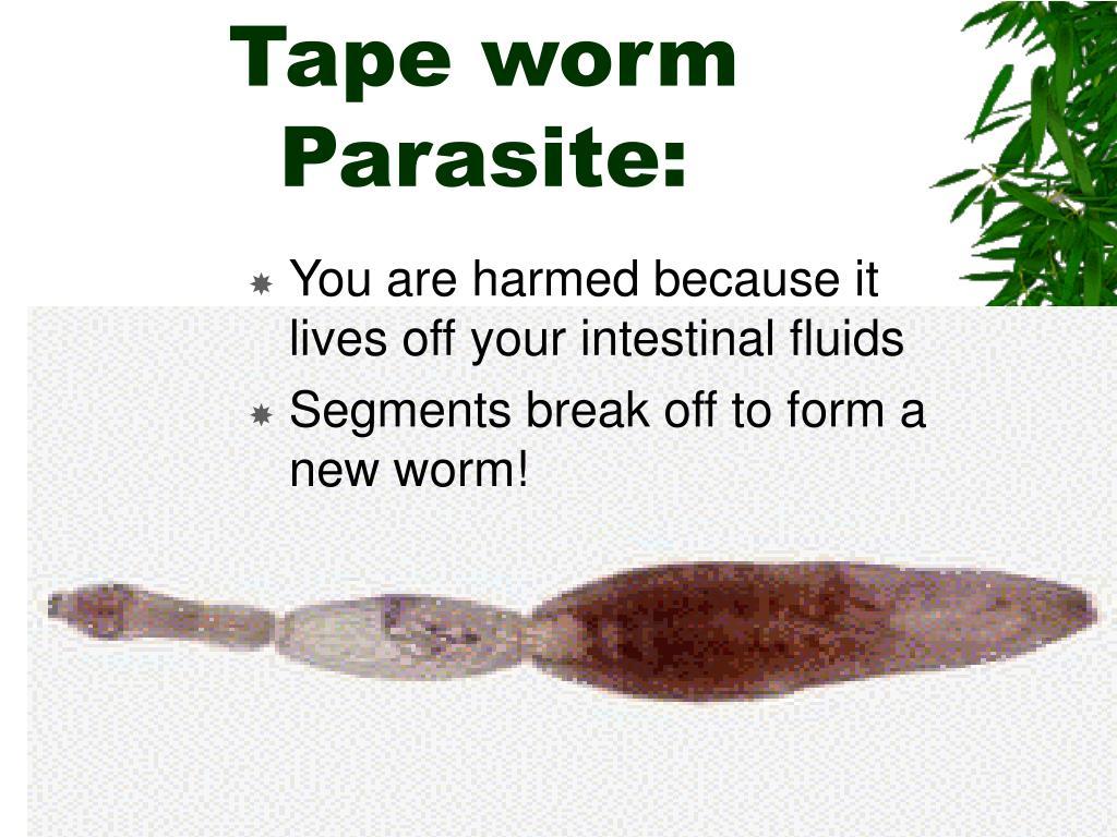 Tape worm Parasite: