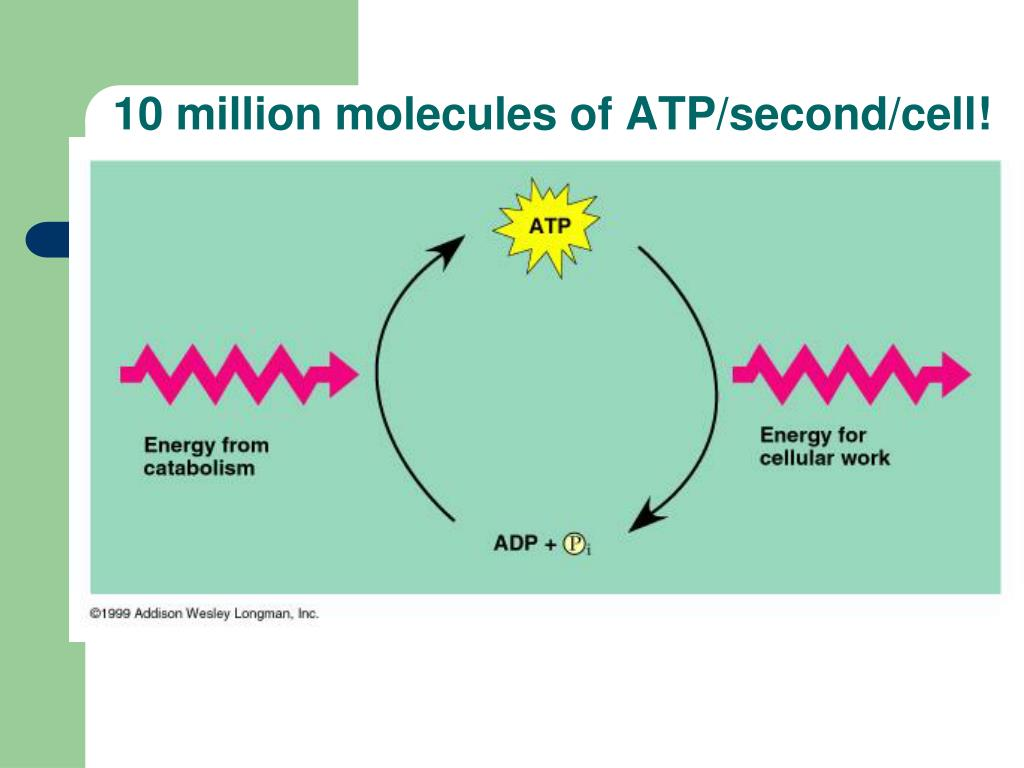 10 million molecules of ATP/second/cell!