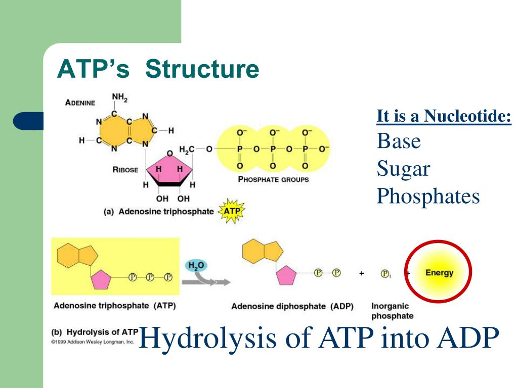 ATP's  Structure