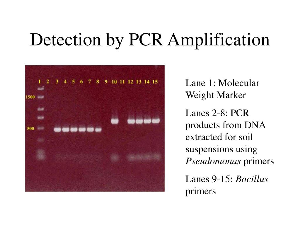 Detection by PCR Amplification