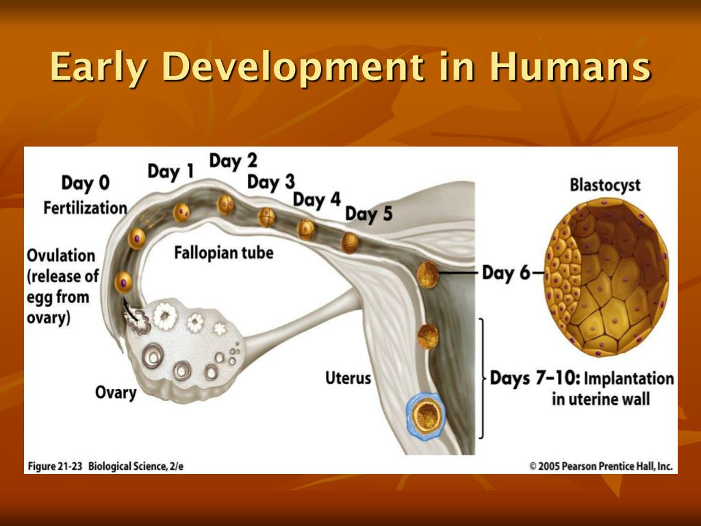 Early Development in Humans