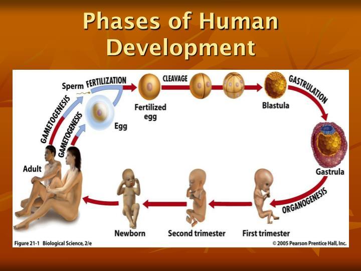 Phases of human development