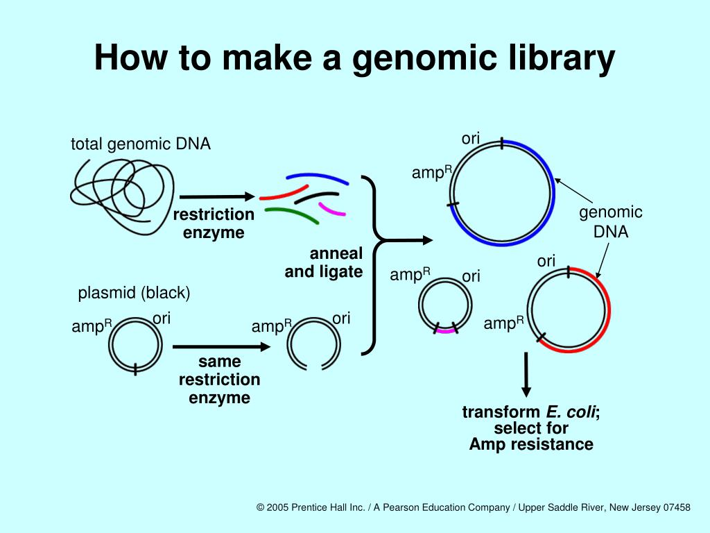 How to make a genomic library