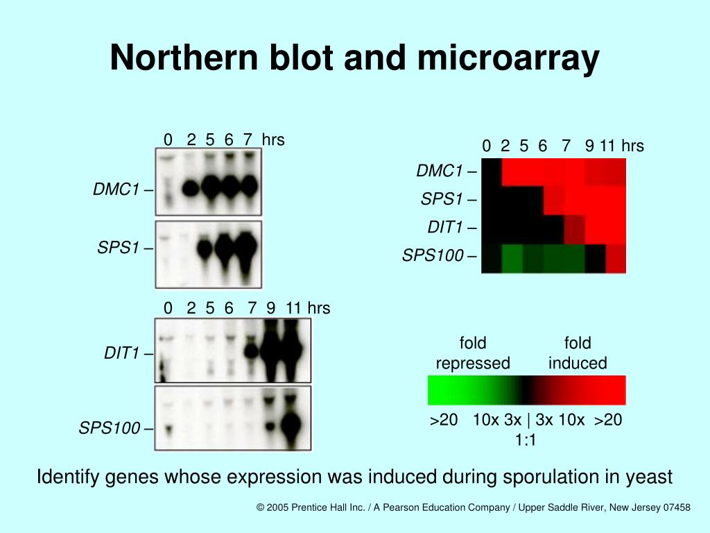 Northern blot and microarray