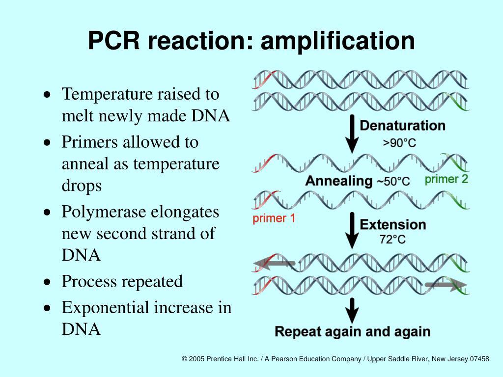 PCR reaction: amplification
