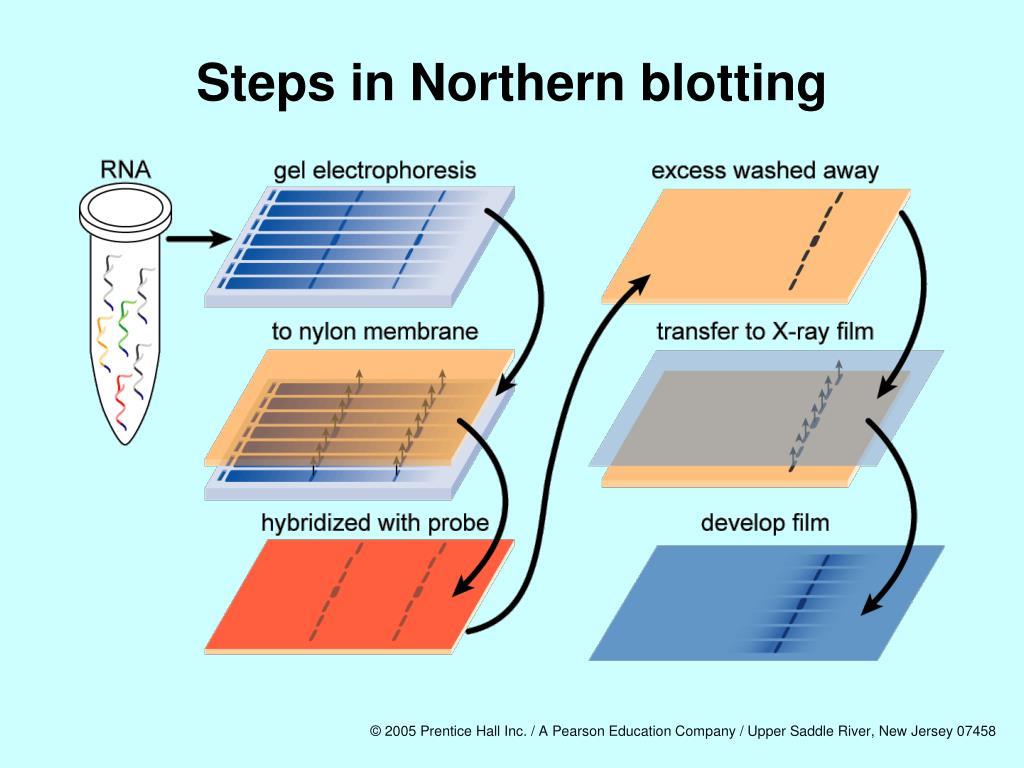 Steps in Northern blotting