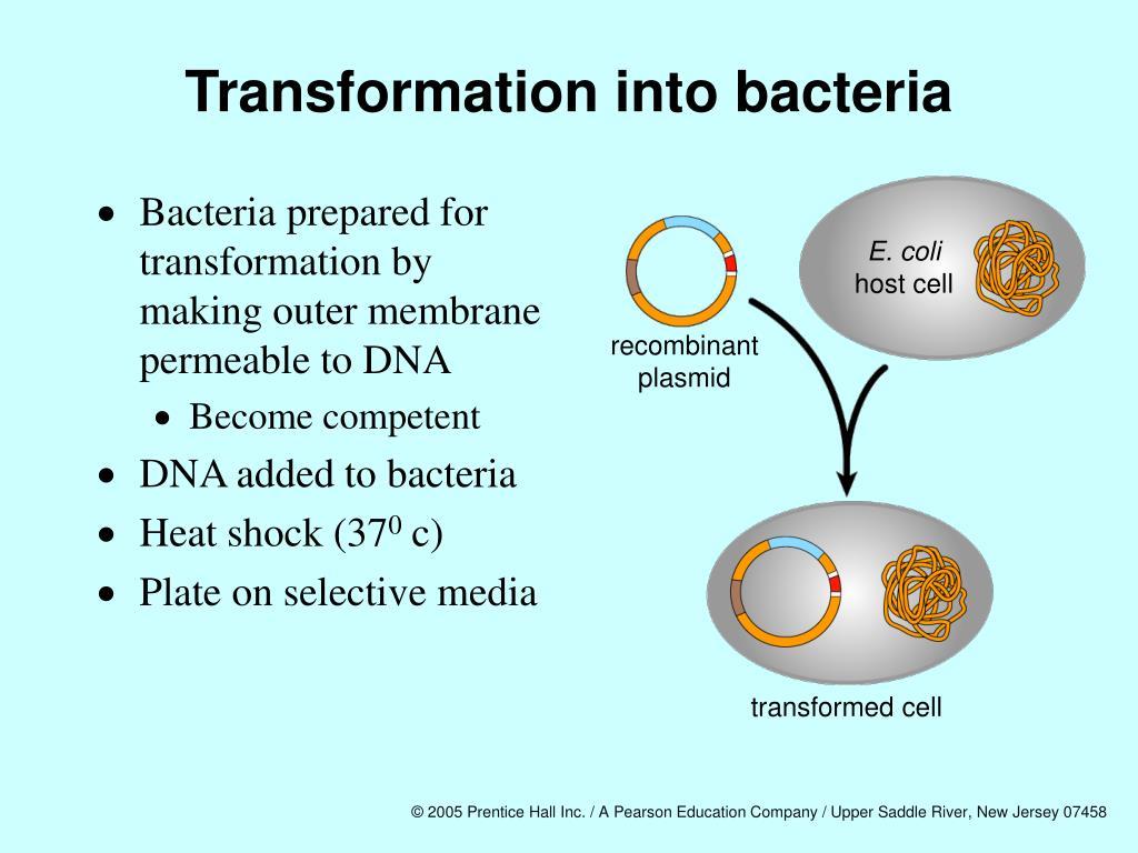 Transformation into bacteria
