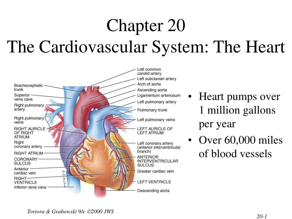 chapter 20 the cardiovascular system the heart l.