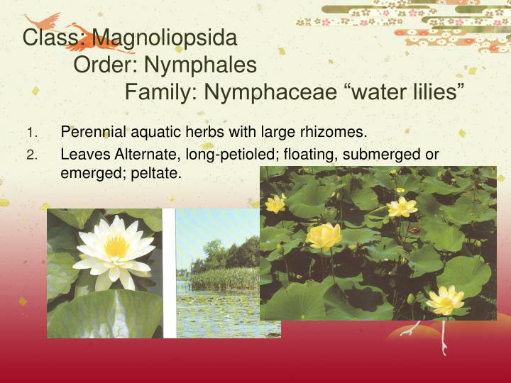 Class magnoliopsida order nymphales family nymphaceae water lilies