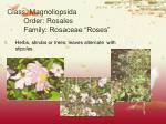 class magnoliopsida order rosales family rosaceae roses