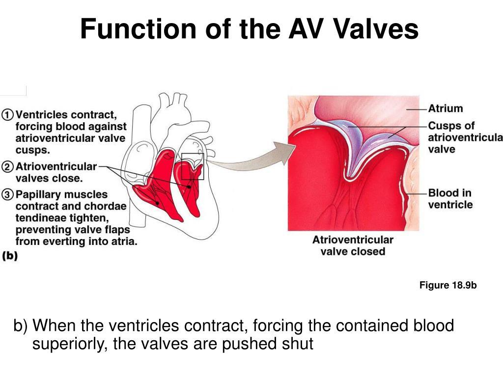 Function of the AV Valves