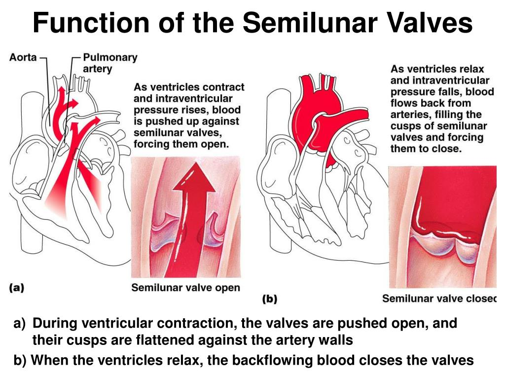 Function of the Semilunar Valves