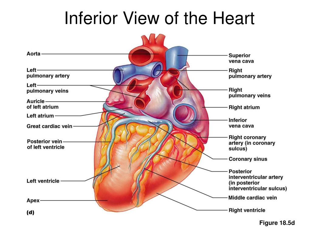 Inferior View of the Heart